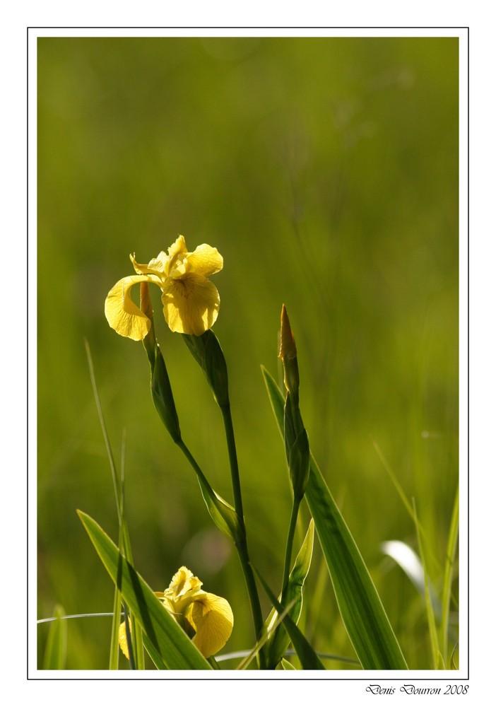 Iris des marais (1)