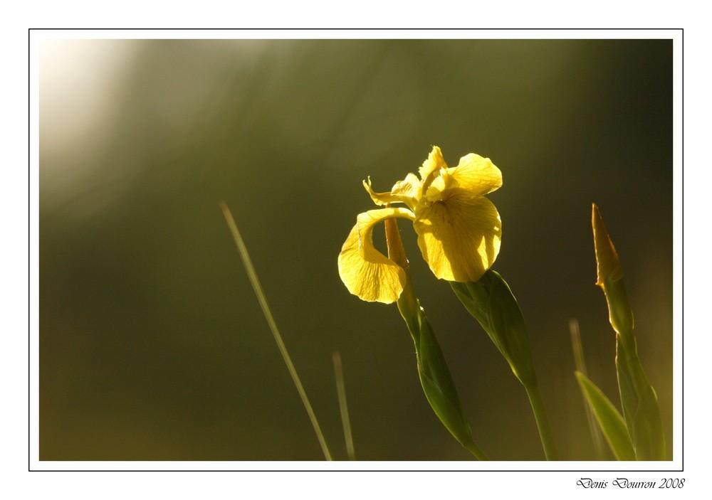 Iris des marais (2)