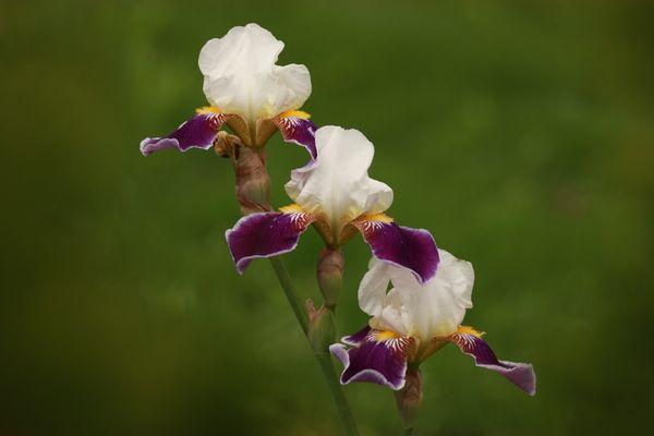 Iris, die zweite