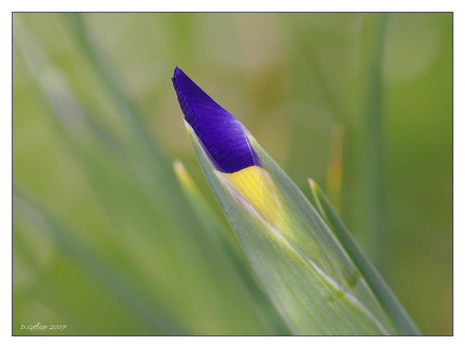 Iris, einfach so