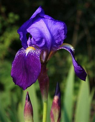 Iris en fleur.....