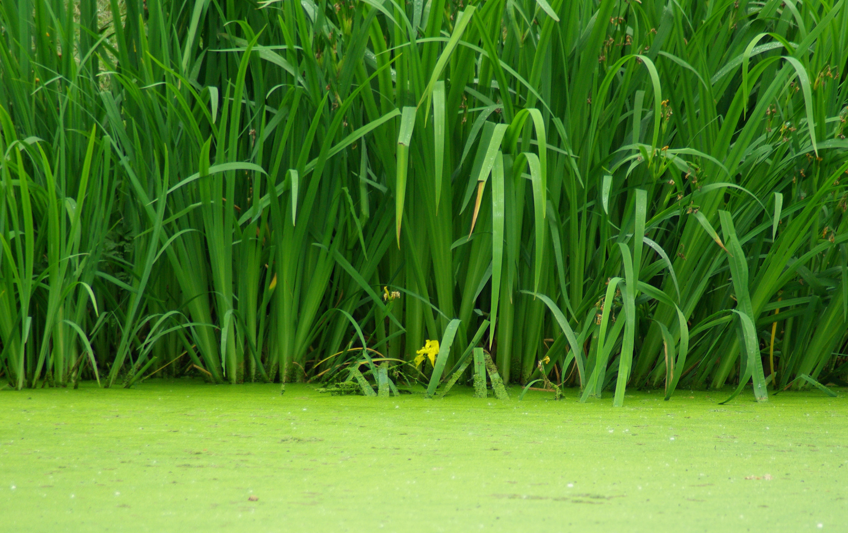 iris et lentilles des étangs