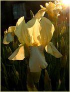 iris in der Abendsonne