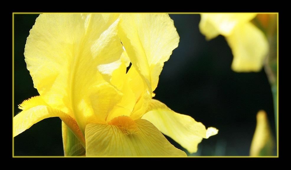 Iris in Gelb