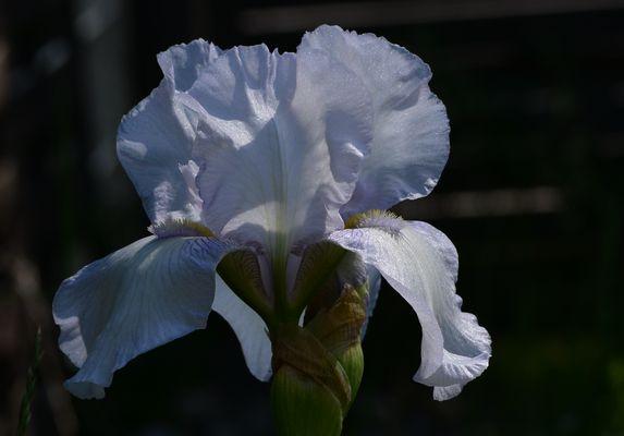 """#...Iris """"Lavendulacea""""......#"""