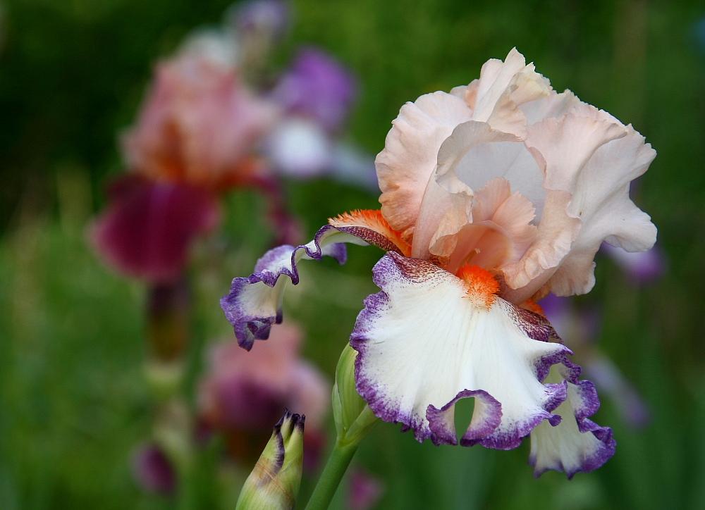Iris-Liebe (2)