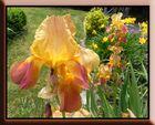 Iris lumineux