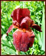 Iris marron-rouge
