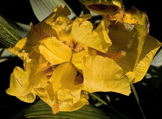 Iris Mille Soleils