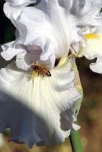 Iris n° 3