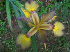 Iris nach Regen