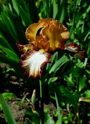 --- Iris oder auch Schwerlilie ---