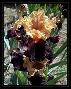 iris panaché