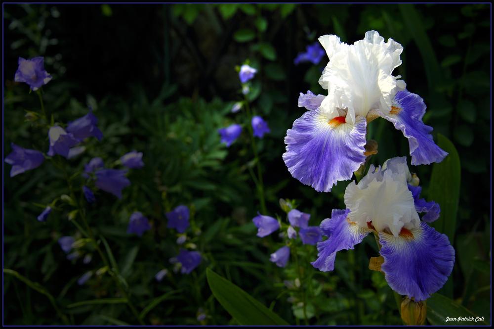 Iris Primée