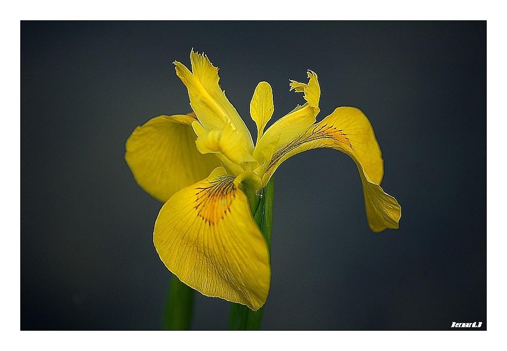 Iris sauvage