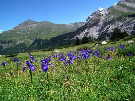 Iris Sauvage dans les Hautes Pyrénées