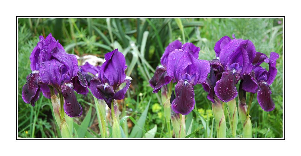 Iris sauvages d'Italie du sud