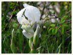 Iris selvatico