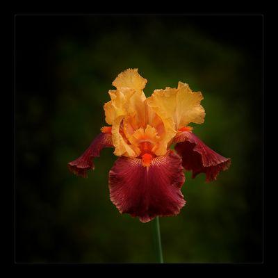 """Iris """"Torero"""""""