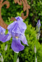 Iris zum Mittwoch