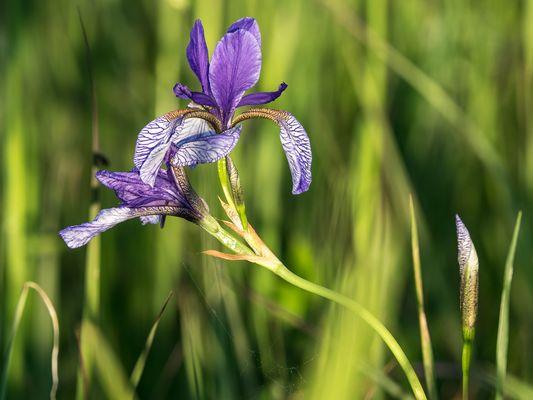Irisblüte im Eriskircher Ried am Bodensee