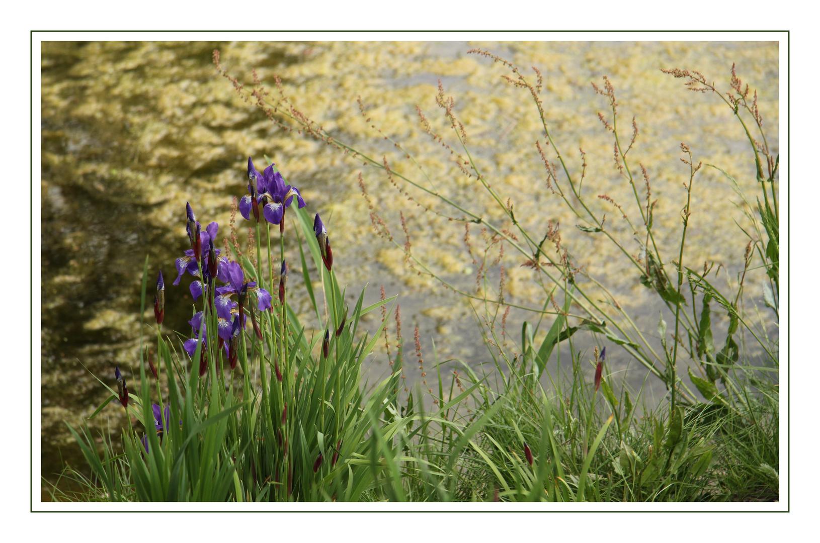 Irisblüten am Teich...