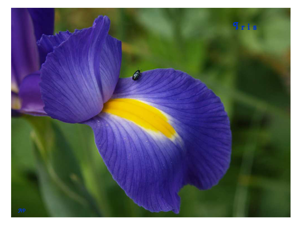 Irisblüten-Detail