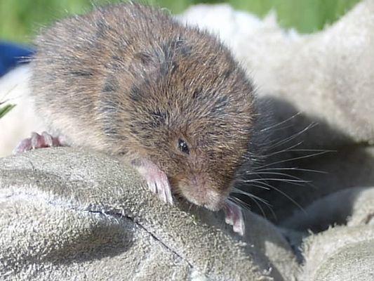 Irische Maus