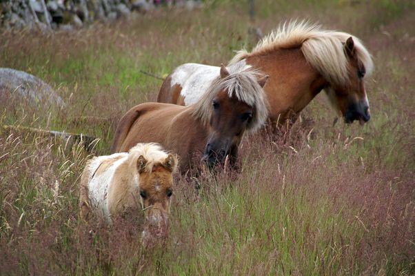 Irische Pferdefamilie