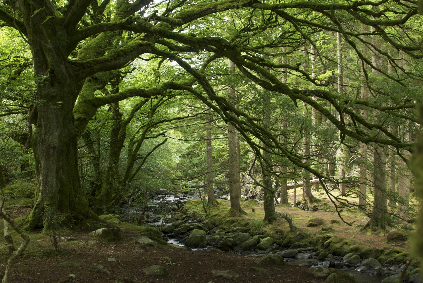 Irischer Eichenwald