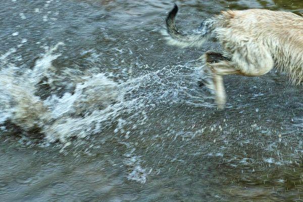 Irischer Wolfshund auf der Flucht