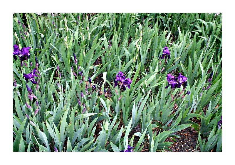 Irises, Alnwick