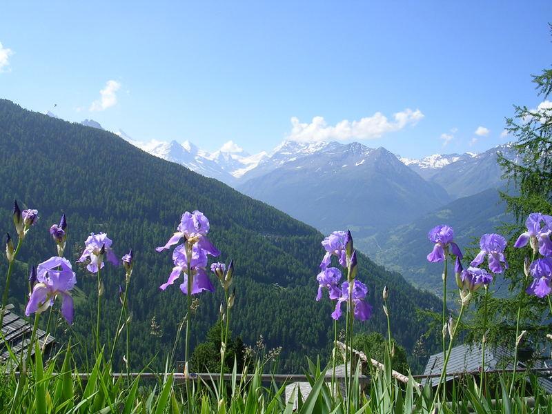 Irises on the Alps. Summer, 2005