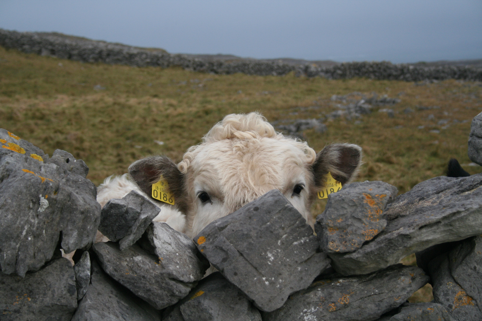 Irish Cow