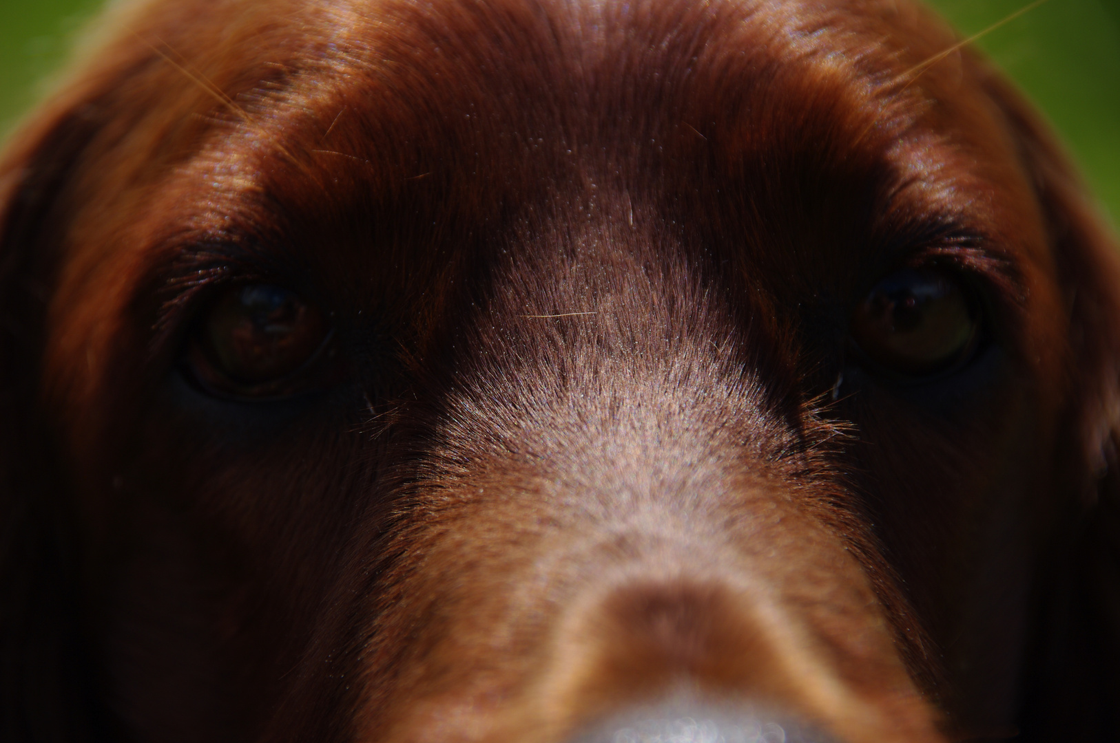 """Irish Red Setter """"Felice from the Old Irish Cottage"""""""