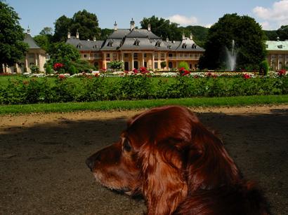 Irish Setter am Schloss Pillnitz