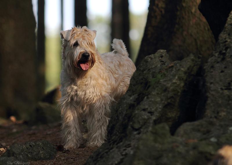 """""""Irish Soft Coated Wheaten Terrier"""""""