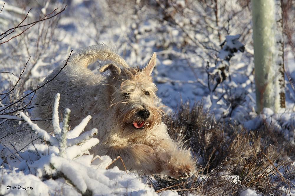 Irish Soft Coated Wheaten Terrier im schnee