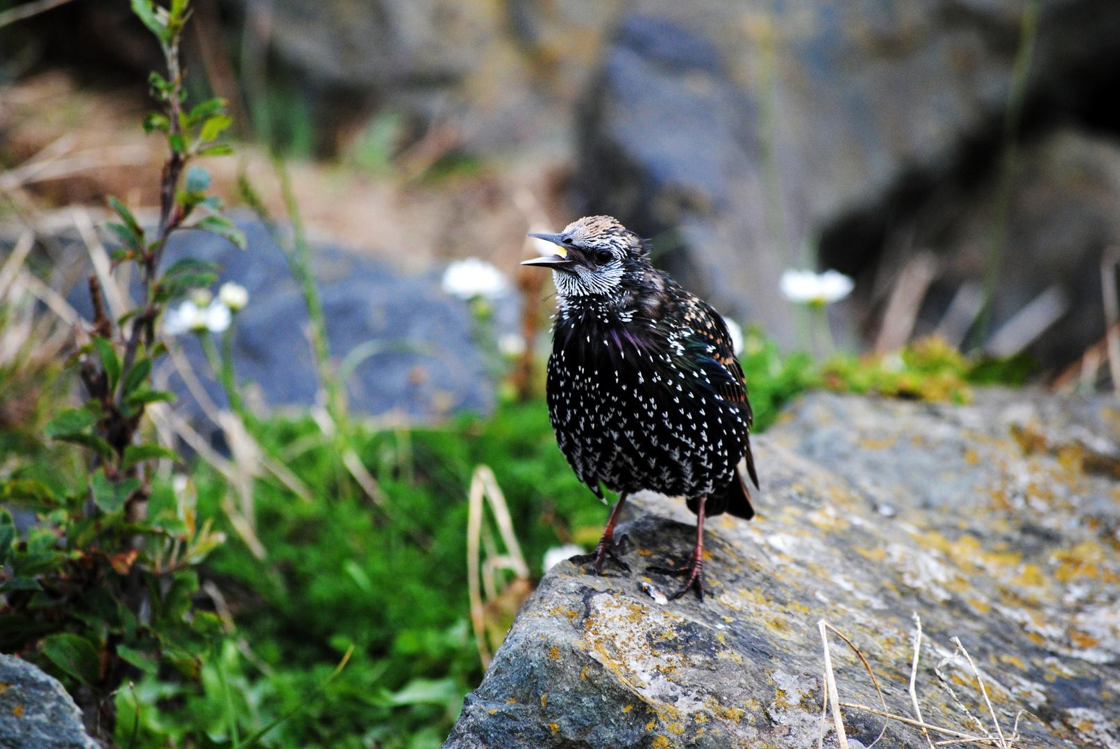 Irish Starling