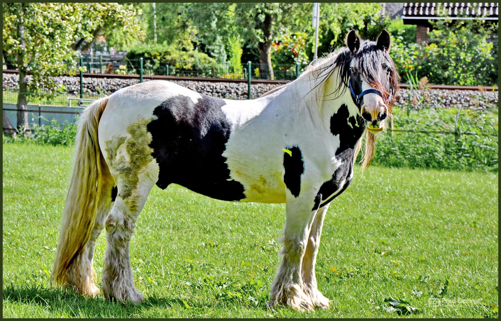Irish Tinker Pferd