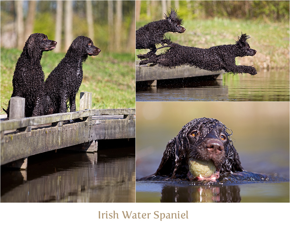 Irish Water Spaniel und die Brücke