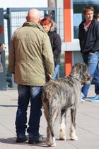 Irish Wolfhound gefunden ... 6