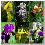 Irisierende Schönheiten