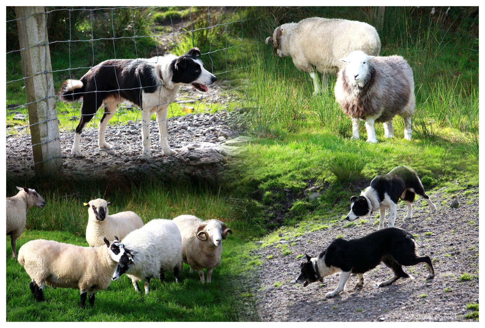 ~ Irland: Kells Sheep Farm ~