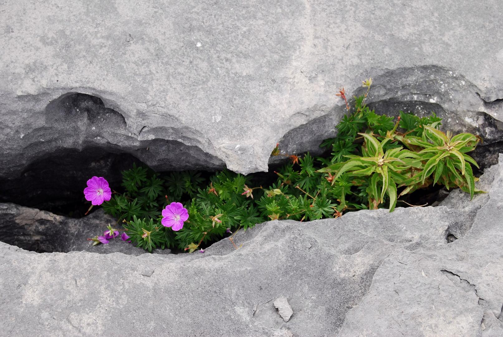 Irland - Leben in der Felsspalte, Burren