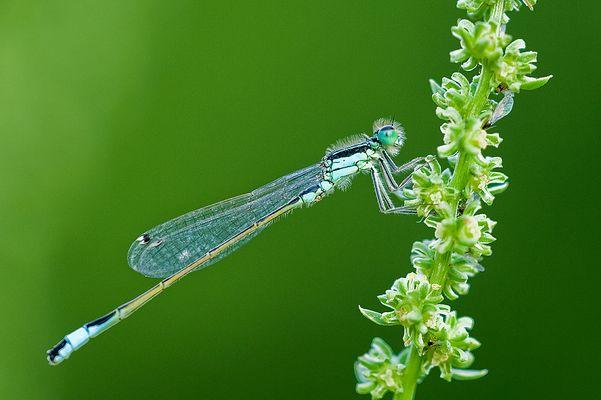 Ischnura elegans, ya vuelan