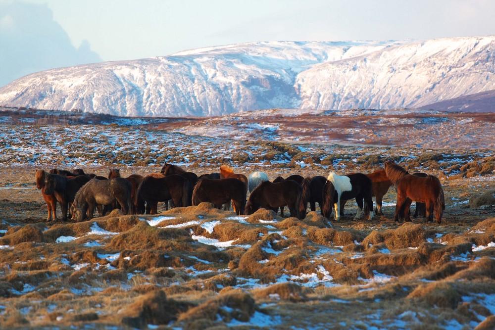 Isländer in ihrer Heimat