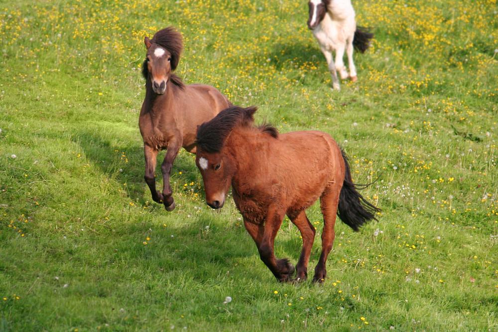Isländer Pferde