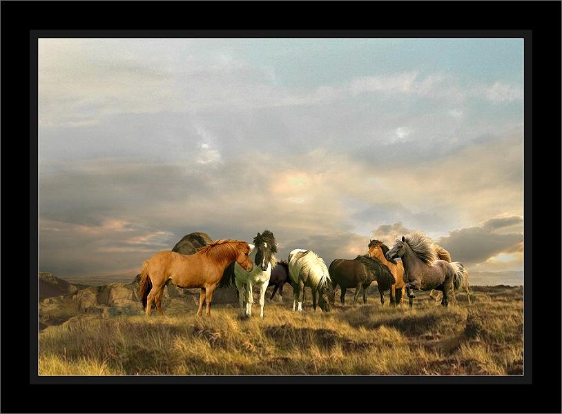 Isländer Ponys