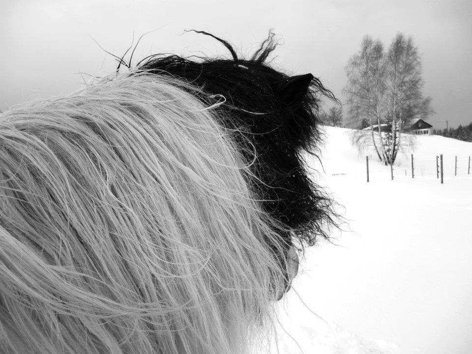 Isländer - vom Winde verweht